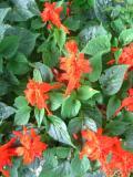 Ogrody, zdjęcia szałwia błyszcząca kwiat, szałwia w ogrodzie