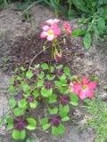 Ogrody, zdjęcia szczawika deppegp, szczawik deppego w ogrodzie