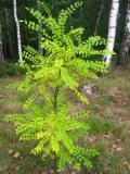 szupin japoński, fotografie roślin