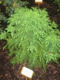 szydlica japońska, fotografie roślin