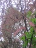 rośliny krzewiaste , krzewy wytrzymałe, tamaryszek, rośliny na wiosnę