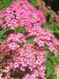 Ogrody, zdjęcia tawuły japońskiej, tawuła japońska w ogrodzie