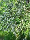 ogrodnik, ogród, uprawa, rośliny na suchą glebę, lilak