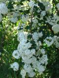 rośliny krzewy , tawuła van houttea