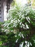 krzewy ogrodowe, krzewy łatwe w uprawie, krzewy liściaste, tawuła wczesna
