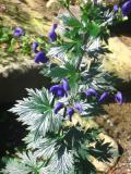 tojad mocny, zdjęcia rośliny, galeria roślin, rośliny na literę t