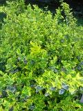 Ogrodnik-amator, opis rośliny, Trzmielina Fortunea,  Euonymus fortunei, Spindle tree, uprawa trzmieliny fortunea, krzewy zimozielone