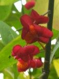ogrodnik -  rośliny o ozdobnych  owocach, trzmielina pospolita