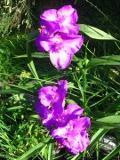 Ogrody, zdjęcia trzykrotka wirginijska kwiat,  w ogrodzie