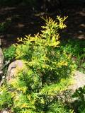 żywotnik,tuja, zdjęcia roślin, galeria roslin ogrodowych
