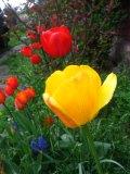 tulipany darwina,  zdjęcia rośliny, galeria roślin, rośliny na literę t