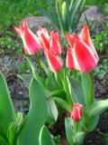 Ogrody, zdjęcia tulipanów, tulipan gREIGA w ogrodzie