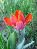 tulipany papuzie, zdjęcia rośliny, galeria roślin, rośliny na literę t
