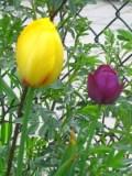 tulipany pojedyńcze późne,  zdjęcia rośliny, galeria roślin, rośliny na literę t