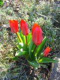 tulipany kaufmanna zdjęcia rośliny, galeria roślin, rośliny na literę t