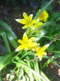 tulipany tarda,  zdjęcia rośliny, galeria roślin, rośliny na literę t