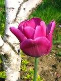 Ogrody, zdjęcia tulipanów, tulipan triumph w ogrodzie