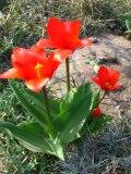 rośliny cebulowe, tulipany, tulipan Kaufmanna