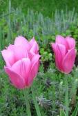 ogrodnik -  tulipany, odmiany tulipanów
