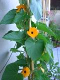 Ogrody, ro�liny  , tunbergia