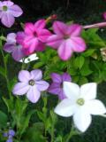 kwiaty jednoroczne, pachnące, tytoń oskrzydlony
