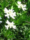 ubiorek wiecznie zielony, zdjęcia roślin, galeria roślin, rośliny na literę u