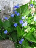 ułudka wiosenna, zdjęcia roślin, galeria roślin, rośliny na literę u