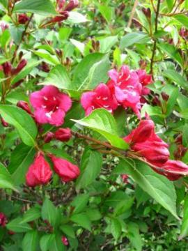 krzewy, krzewuszkacudowna, wajgela, krzewy kwitnące, krzewuszka w ogrodzie