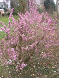 Ogrodnik-amator, opis rośliny, Wawrzynek wilczełyko, Daphne mezereum, February Daphne, uprawa wawrzynka wilczełyko, krzewy kwitnące wczesną wiosną