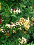 kwiaty do ogrodu, pnącza wieloletnie łatwe w uprawie, pnącza do ogrodu, pnacza ogrodowe