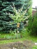 drzewa ogrodowe, drzewa łatwe w uprawie, drzewa LIŚCIASTE, wierzba hakuro