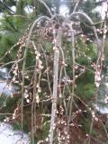 wierzba iwa, zdjęcia roślin