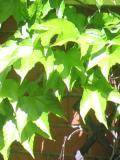 pnącza, winobluszcz trójklapowy, rośliny pnące