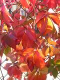 Ogrody, zdjęcia winobluszcz pięciolistkowy, jesień  w ogrodzie, uprawa winobluszczu pieciolistkowego