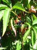 pnącza ogrodowe, kwiaty łatwe w uprawie,winobluszcz pięciolistkowy