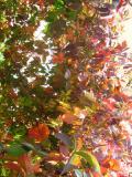 pnącza, winobluszcz pięciolistkowy, rośliny pnące