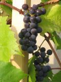 winorośl właściwa, zdjęcia roślin