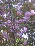 drzewa ogrodowe, drzewa trudniejsze w uprawie, drzewa liściaste, wiśnia piłkowana