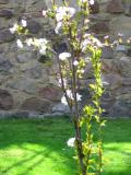 wiśnia piłkowana, zdjęcia roślin