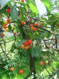 drzewa owocowe, wiśnia pospolita