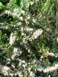wrzosiec, zdjęcia roślin