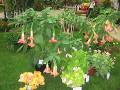 grodowe zmarzlaki, rośliny wrażliwe na sniskie temperatury, rosliny egzotyczne, na balkony i tarasy, zimowanie roślin, kuflik, kufliki, datura, bieluń drzewiasty, anielskie trąbki, fuksja, ułanka, sunsaville, kufea hyzopolistna, złocień krzewiasty