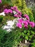 rośliny  kwiaty na skalniak , zawciąg nadmorski