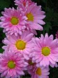 byliny, kwiaty wieloletnie, złocień ogrodowy
