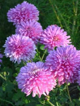 Złocień Ogrodowy Chrysanthemum Indicum Uprawa Złocieni Chryzantem