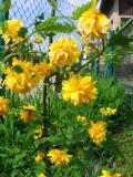 złotlin, zdjęcia roślin, zdjęcia rośliny, rośliny na literę z