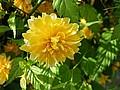 kolor żóły w ogrodzie, ogród ozdobny
